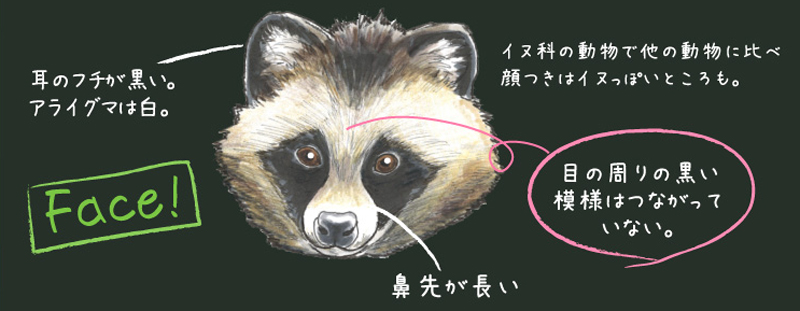 タヌキとハクビシンの違いその2 鼻先の違い