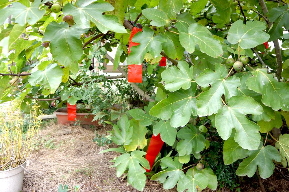 イチジクの木低い位置に忌避剤設置